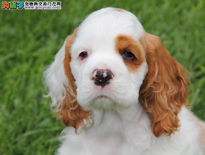 顶级血统赛级纯种可卡犬宝宝火热销售中 欢迎上门选狗