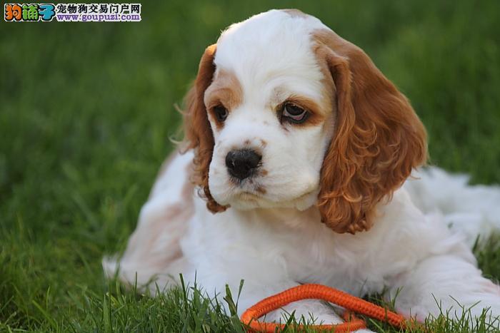 精品宠物级可卡幼犬 品正相好 您值得拥有
