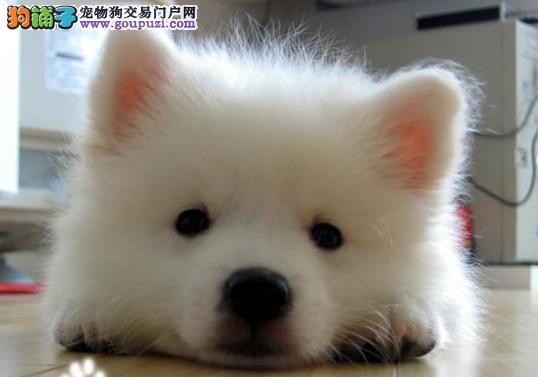 齐齐哈尔养殖场直销完美品相的银狐犬一分价钱一分货