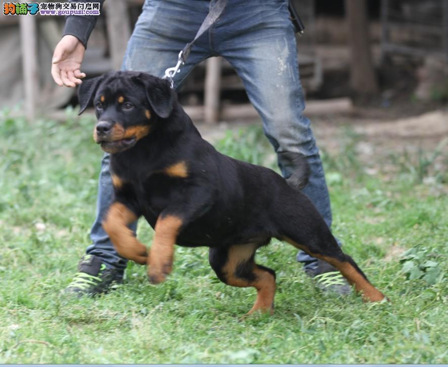 专业养殖纯种德系罗威那幼犬出售大骨架毛色亮丽
