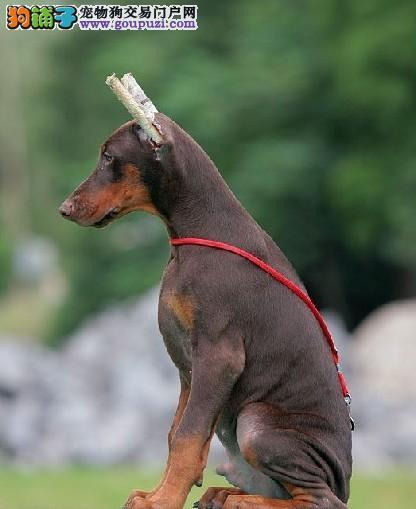 精品高品质杜宾犬幼犬热卖中我们承诺终身免费售后