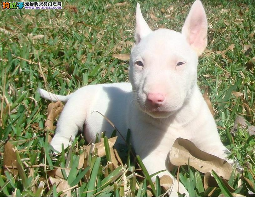 纯血统牛头梗幼犬 纯度第一价位最低 三年质保协议