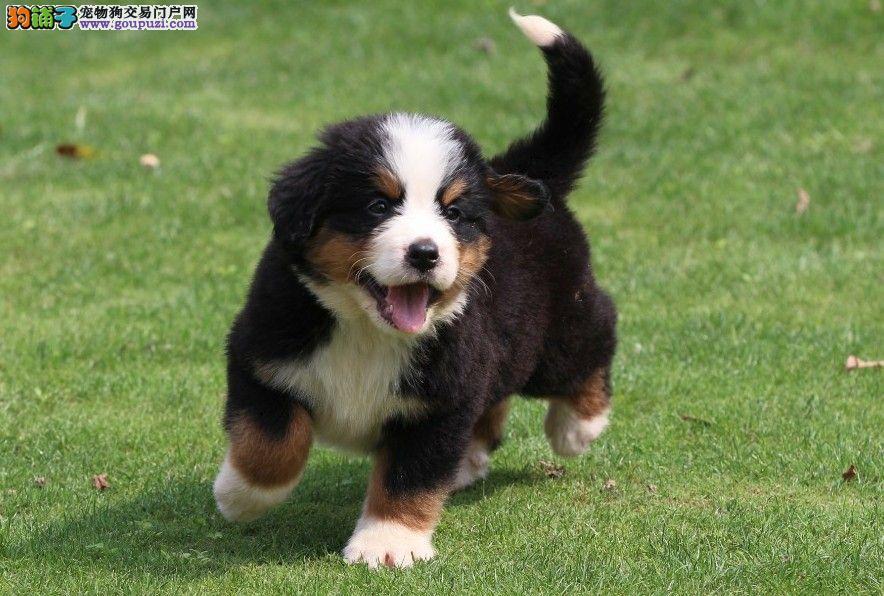 高品质伯恩山幼犬、疫苗齐全包养活、签订终身合同