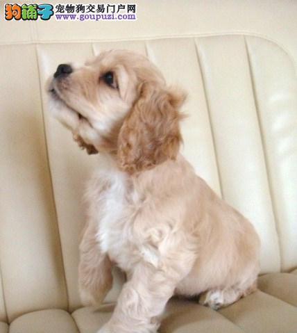 出售多只优秀的可卡双鸭山可上门微信咨询视频看狗