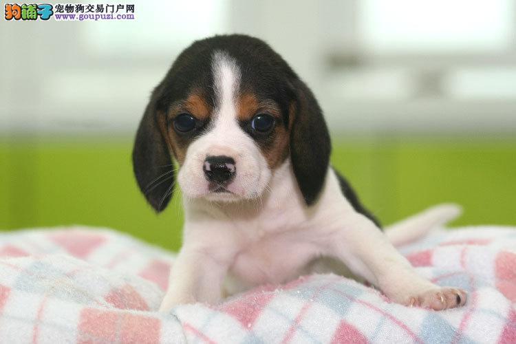 出售漂亮的比格幼犬;公母都有;纯种健康