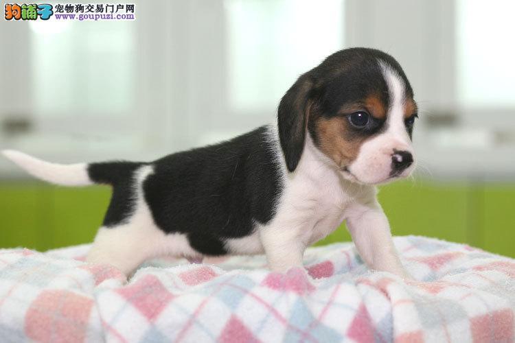 CKU出售比格犬,纯种 健康 有保障 签协议