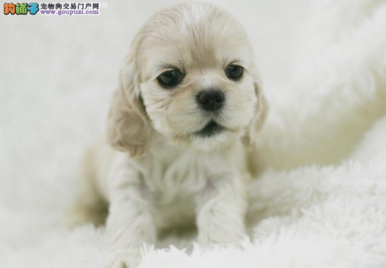 忻州家养赛级可卡宝宝品质纯正微信咨询看狗狗照片