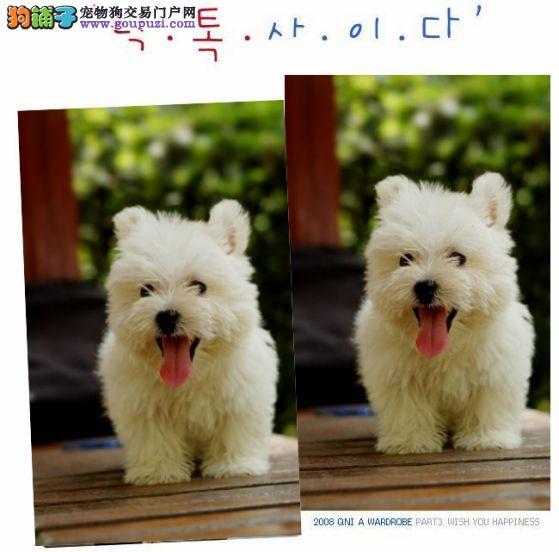 机灵活泼的西高幼犬品质出众欢迎上门选购