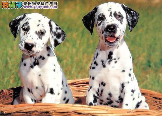 斑点幼犬宝宝品色纯正,赛级标准,超级可爱