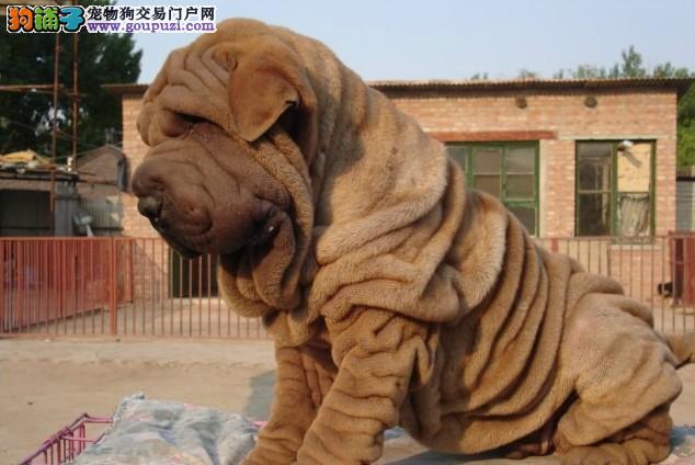 顶级优秀的纯种沙皮狗武汉热卖中优质售后服务