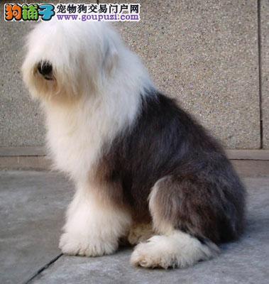 武汉热卖古代牧羊犬多只挑选视频看狗品质保障可全国送货