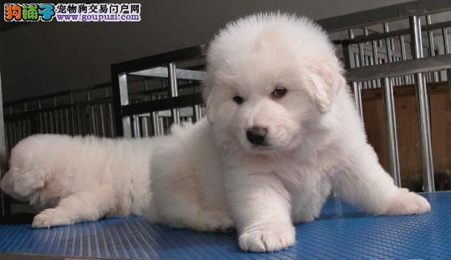 出售纯种大白熊质量+信誉+保证=值得信赖