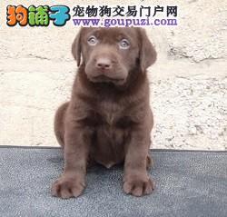 CKU认证犬舍直销/赛级拉拉幼犬/纯种健康签订质保协议
