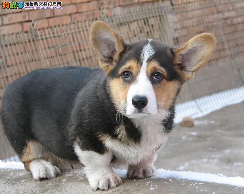 CKU注册犬舍出售威尔士柯基幼犬,三色,黄白都有