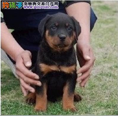 苏州哪里有正规宠物店 能买到纯种健康的罗威纳狗狗