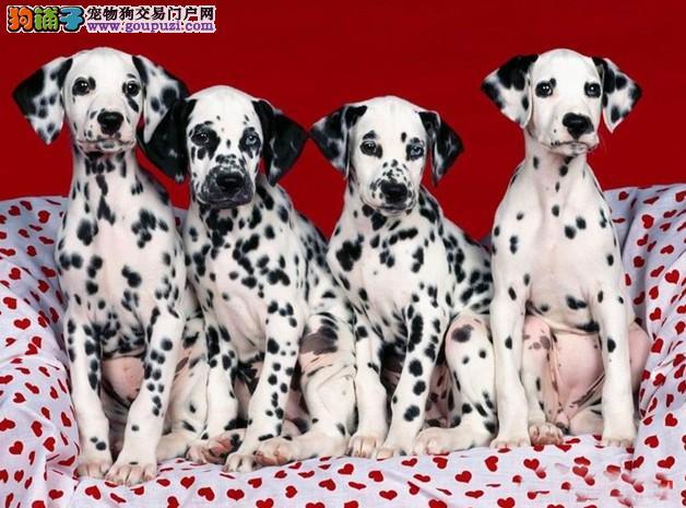 斑点狗的性格怎样到哪里能买到好的斑点狗