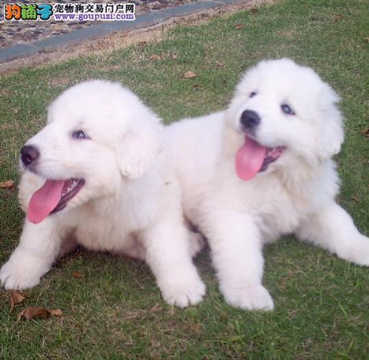 纯种大白熊幼犬出售疫苗做好自产自销品质保证