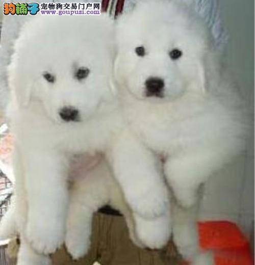 大白熊狗场繁殖现售幼犬 品种优质缘缘犬舍繁殖场