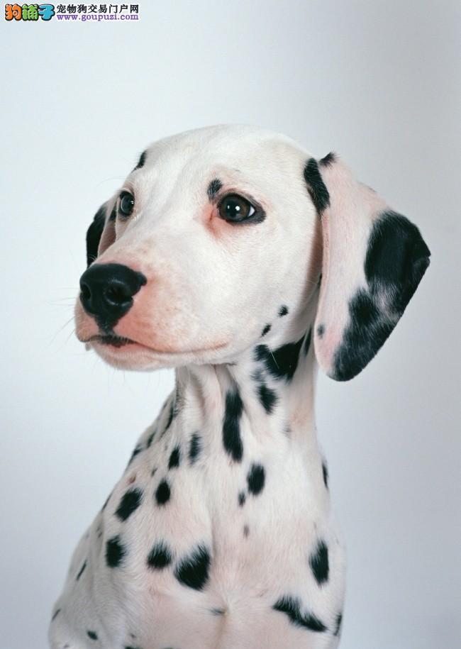 斑点狗幼崽出售中,血统纯正包品质,当天付款包邮
