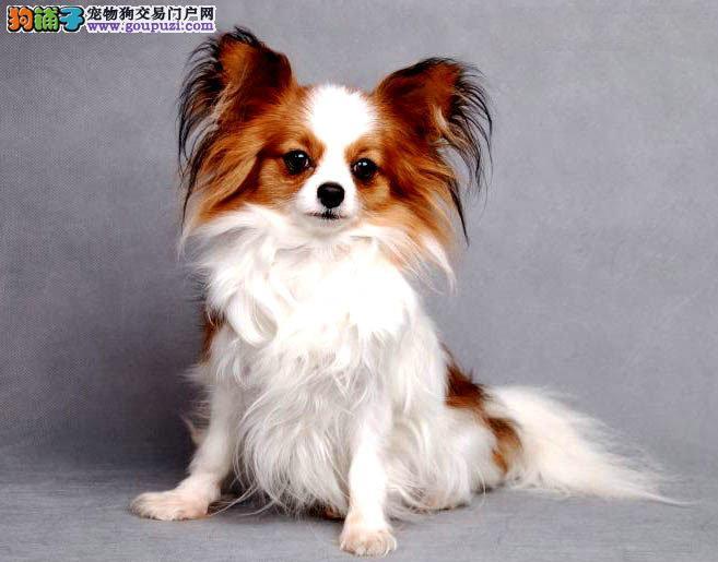 广州哪里有卖蝴蝶犬 广州纯种蝴蝶犬多少钱一只