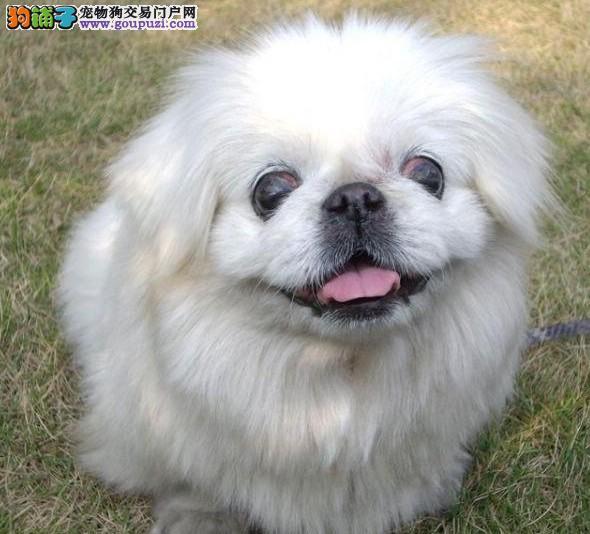冠军犬后代赛级高品质京巴幼犬免疫驱虫齐全健康出售