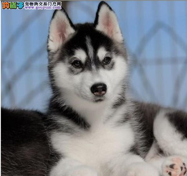 宁波正规名犬繁育中心出售健康哈士奇 高品质保健康