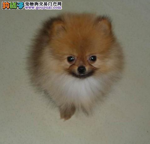 我江苏狗场长期直销高品质博美宝贝 品质健康有保障