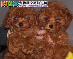 江苏狗场长期直销高品质泰迪犬 颜色齐全