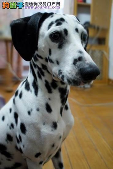 火爆出售血统纯正的济南斑点狗提供护养指导