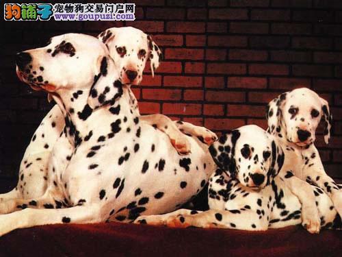 极品斑点狗出售、可看狗狗父母照片、签署合同质保