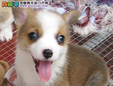 AKC注册犬舍健康纯种柯基犬全北京最出众犬质保三年