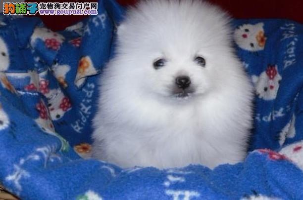 苏州狗场专业繁殖培育 直销高品质纯种哈多利博美犬