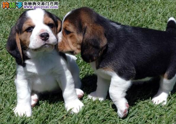 正规犬舍高品质比格犬带证书我们承诺终身免费售后