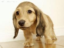 自家繁殖腊肠犬出售公母都有周边免费送货