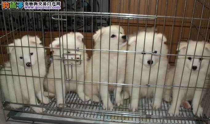 出售纯种健康的成都银狐犬幼犬签署质保合同