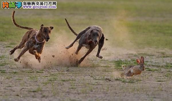 萨摩耶/格力犬猎兔 格力犬撵兔视频[三个月公母全有]