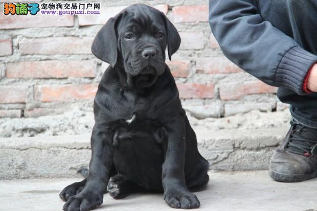 西安繁殖基地出售多种颜色的卡斯罗犬爱狗人士优先