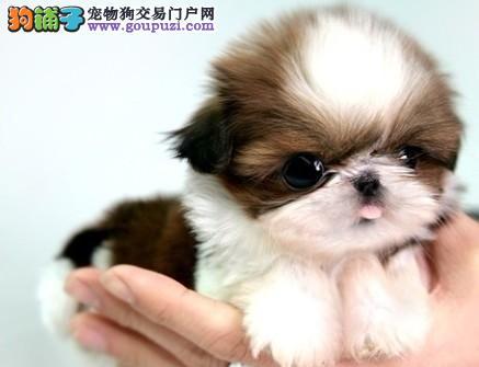 颜色全品相佳的茶杯犬纯种宝宝热卖中可签合同刷卡