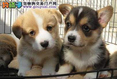 犬舍直销柯基宝宝 两色三色都有
