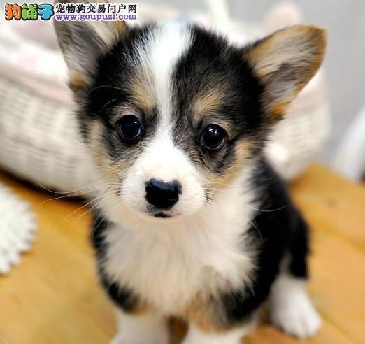 顶级优秀的纯种洛阳柯基热销中购犬可签协议
