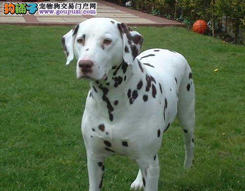 精品斑点狗幼犬一对一视频服务买着放心喜欢加微信可签署协议