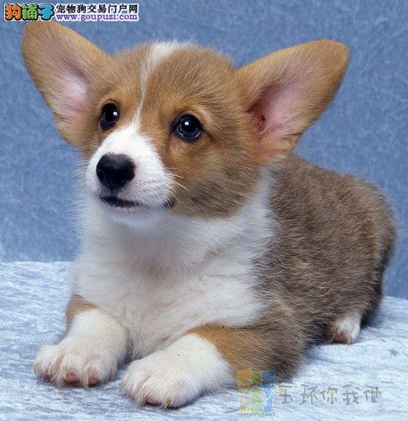 柯基犬 幼犬三个月!!!