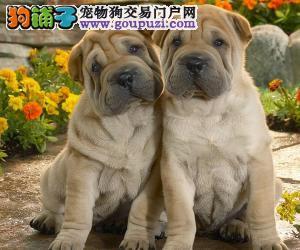 南宁实体店低价促销赛级沙皮狗幼犬品质一流三包终身协议