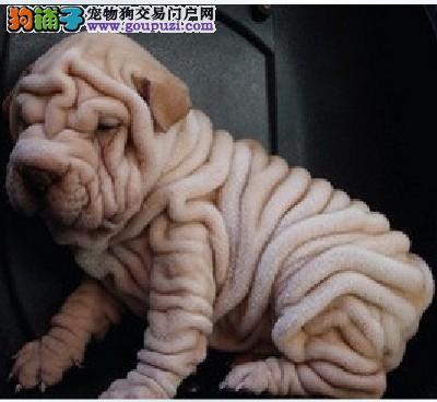家养多只合肥沙皮狗宝宝出售中欢迎您的光临