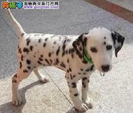 斑点狗哪里有出售斑点狗的价格多少 斑点狗一般什么价
