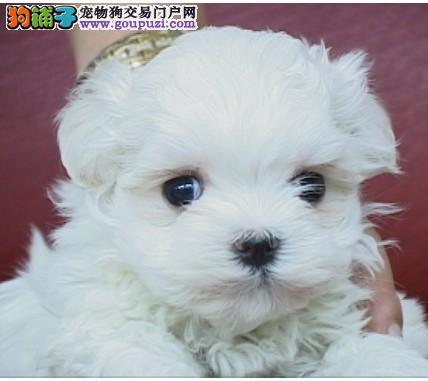 纯血统马尔济斯幼犬、一宠一证证件齐全、签订活体协议