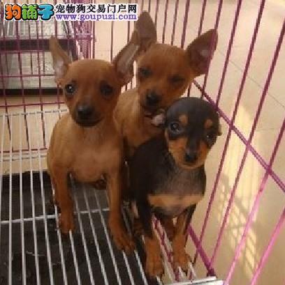 朝阳区狗场常年出售 迷你小鹿犬 提供免费配种