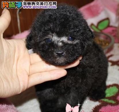 顶级灰色泰迪熊犬 韩国引进茶杯体 质保2年送到家
