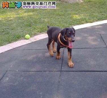 热销多只优秀的成都纯种杜宾犬幼犬签订合法售后协议