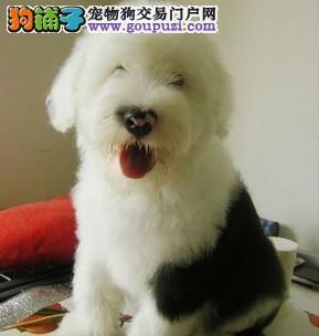 白头黑背 体态完美血统高贵 健康可爱古代牧羊犬